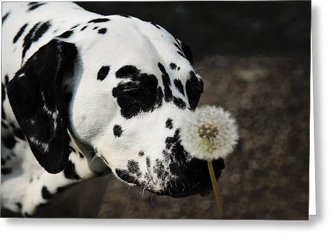 Gun Dog Greeting Cards - The Tender Soul of Dalmation. Kokkie. Dalmation Dog Greeting Card by Jenny Rainbow