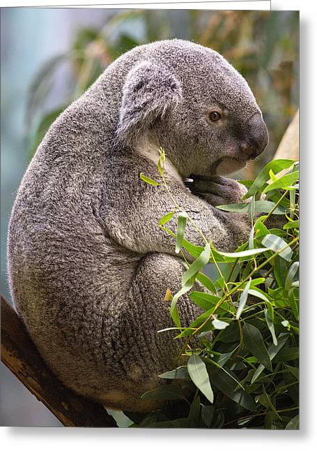 Koala Photographs Greeting Cards - The Thinker Greeting Card by Dale Kincaid