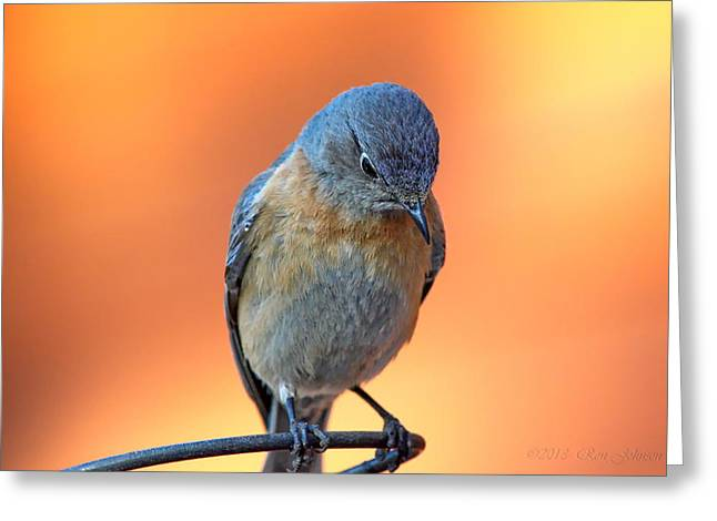 Bluebird Posters Greeting Cards - The Thinker - Western Bluebird Female On Burnt Orange Background Greeting Card by Ron D Johnson