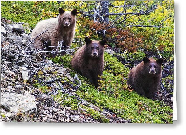 Black Bear Cubs Greeting Cards - The Three Amigos Greeting Card by Mark Kiver