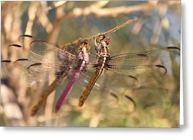 Dragonfly Macro Greeting Cards - The Three Dragonflies  Greeting Card by Saija  Lehtonen