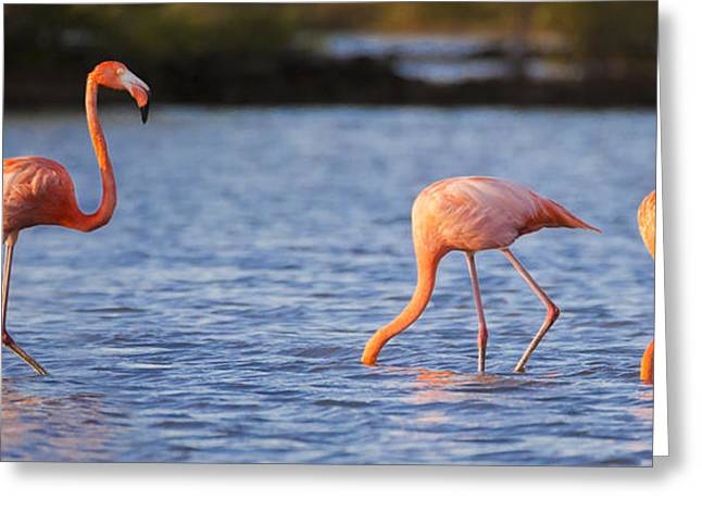 The Three Flamingos Greeting Card by Adam Romanowicz