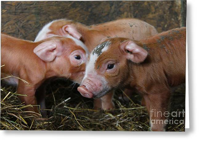 Piglets Greeting Cards - The Three Little Pigs Greeting Card by Rebecca Brooks