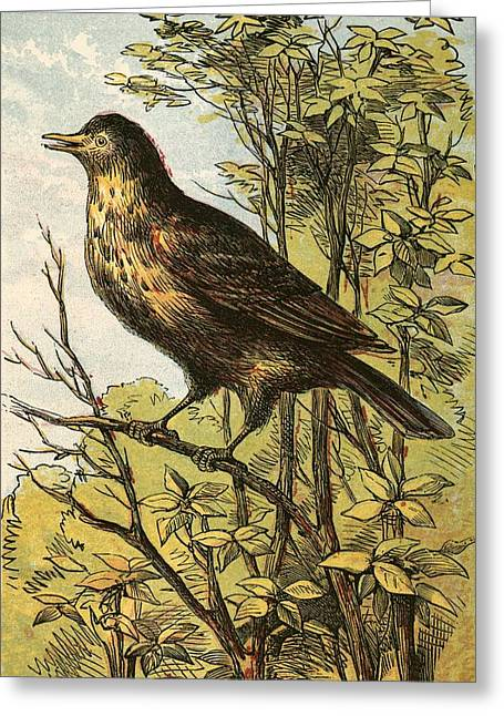 Cocks Greeting Cards - The Thrush Greeting Card by English School