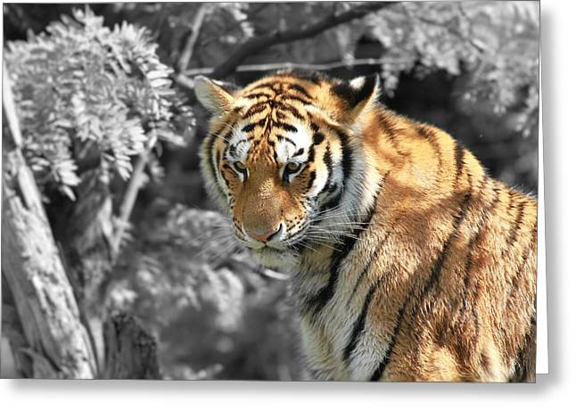 Large Cats Greeting Cards - The Tiger Greeting Card by Dan Sproul
