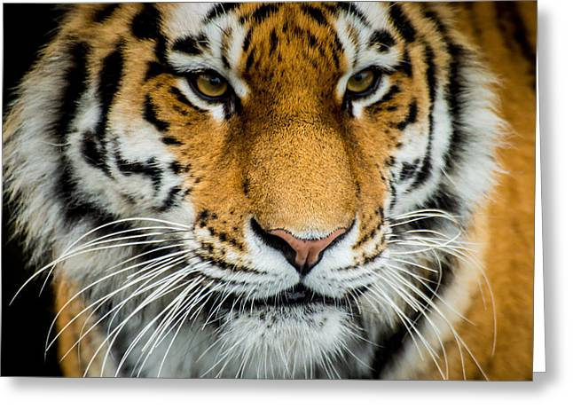 Kjg Greeting Cards - The Tiger Greeting Card by Mirra Photography