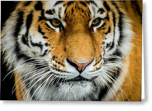 Noregur Greeting Cards - The Tiger Greeting Card by Mirra Photography