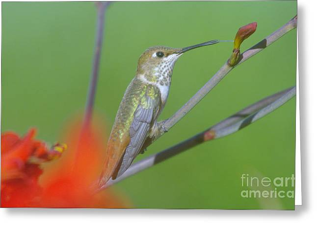 August Photos Greeting Cards - The tongue of a humming bird  Greeting Card by Jeff  Swan