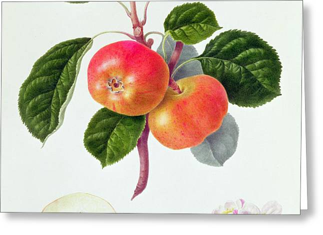 The Trumpington Apple Greeting Card by William Hooker