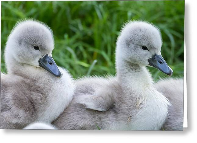 Soft Fur Greeting Cards - The ugly ducklings Greeting Card by Michael Mogensen