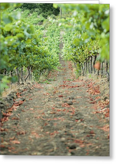 Sonoma County Vineyards. Greeting Cards - The Vines Greeting Card by Ariane Moshayedi