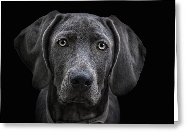 The Weimaraner Greeting Card by Joachim G Pinkawa