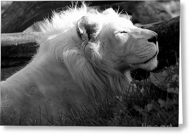 Lions Greeting Cards - The White King Greeting Card by Marcia Lee Jones