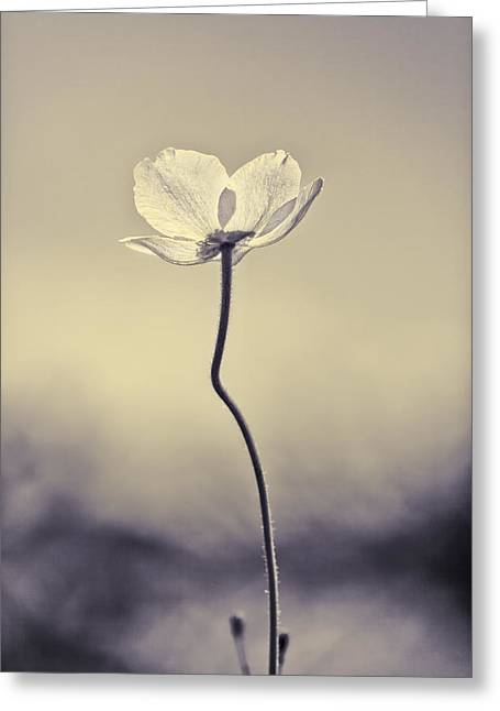 Sepia White Nature Landscapes Greeting Cards - The White Poppy Greeting Card by Martin Bergsma