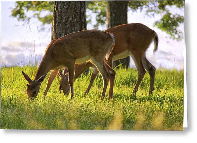 Jmpolitte Greeting Cards - The Whitetail Deer of Mt. Nebo - Arkansas Greeting Card by Jason Politte