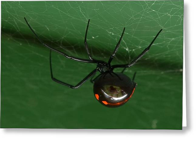 Black Widow Greeting Cards - The Widow and Me Greeting Card by Audie Thornburg
