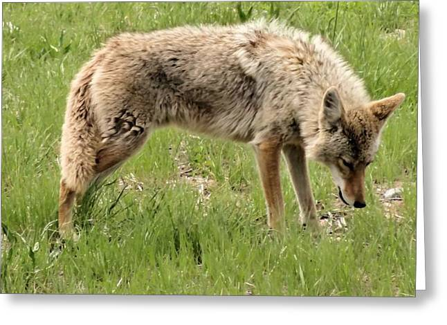 Wyoming Wildlife Greeting Cards - The Wild Greeting Card by Dan Sproul