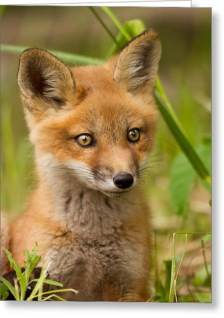 Boo Greeting Cards - The wild pup Greeting Card by Mircea Costina Photography