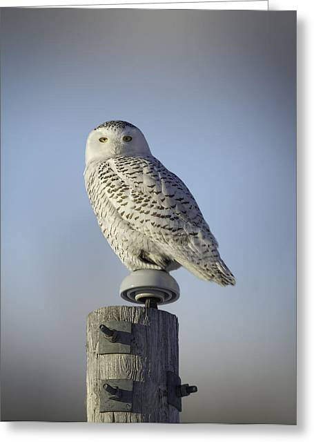 Thought Wild Greeting Cards - The Wise Snowy Owl Greeting Card by Thomas Young