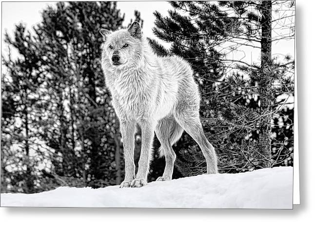 Wolfpack Greeting Cards - The Wolf  Greeting Card by Fran Riley