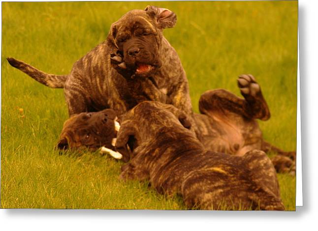English Mastiff Greeting Cards - The Wrestling Match Greeting Card by Jeff  Swan