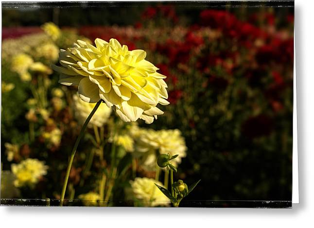 Dahlia Greeting Cards - The Yellow Dahlia Greeting Card by Thom Zehrfeld