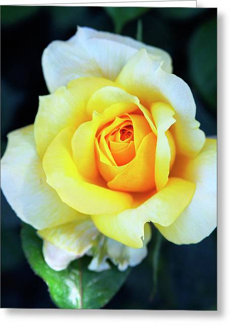 Recently Sold -  - Rose Petals Greeting Cards - THE YELLOW ROSE Palm Springs Greeting Card by William Dey