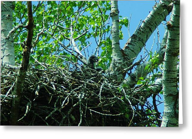 Bird Pin Greeting Cards - The Young Eaglet Peaks Out  Greeting Card by Jeff  Swan