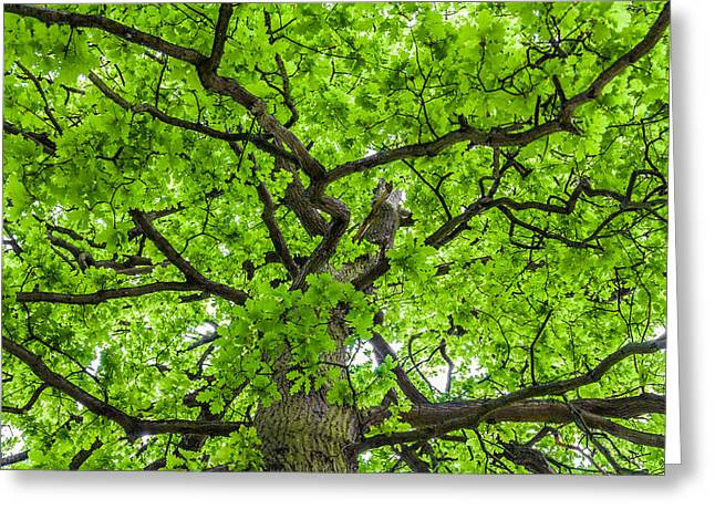 Penetration Greeting Cards - The Young Oak Greeting Card by Semmick Photo