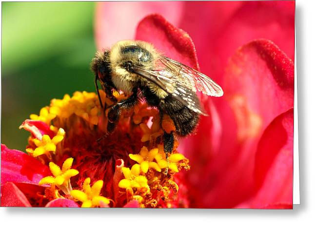 Zinnia Elegans Greeting Cards - The Zinnia and the bee Greeting Card by Optical Playground By MP Ray