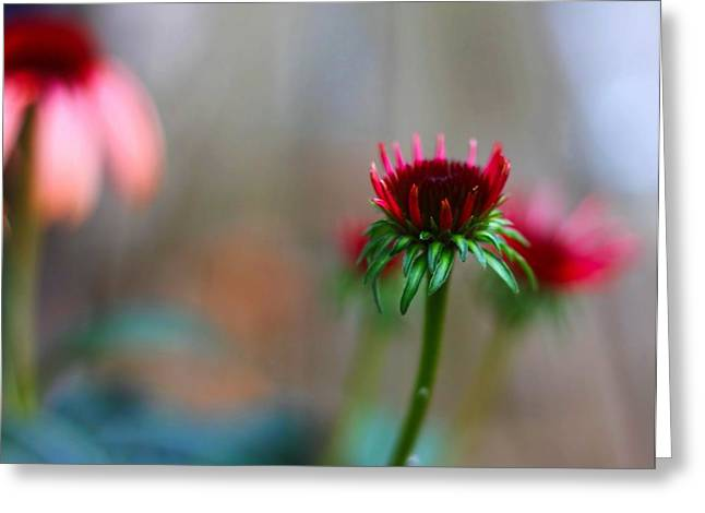 Abstracted Coneflowers Greeting Cards - These Dreams Greeting Card by Katherine White