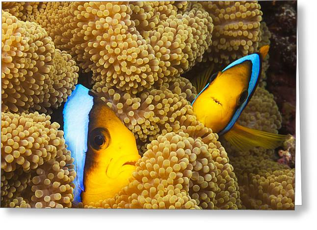 Undersea Photography Greeting Cards - Orange Fin Anemonefish Greeting Card by Dave Fleetham