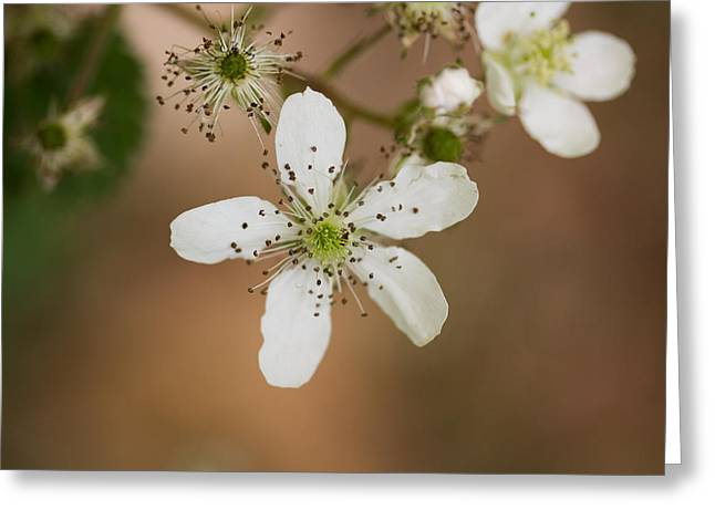 Thimbleweed Greeting Cards - Thimbleweed Greeting Card by Kirkodd Photography Of New England
