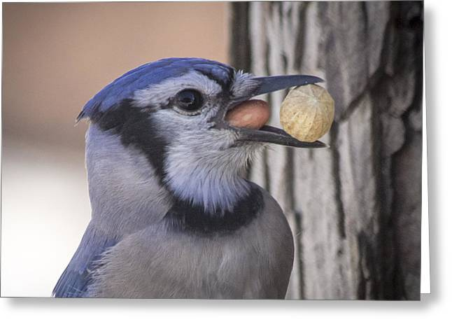 Feeder Framed Prints Greeting Cards - Think Ill have Another Peanut Greeting Card by Michael J Samuels