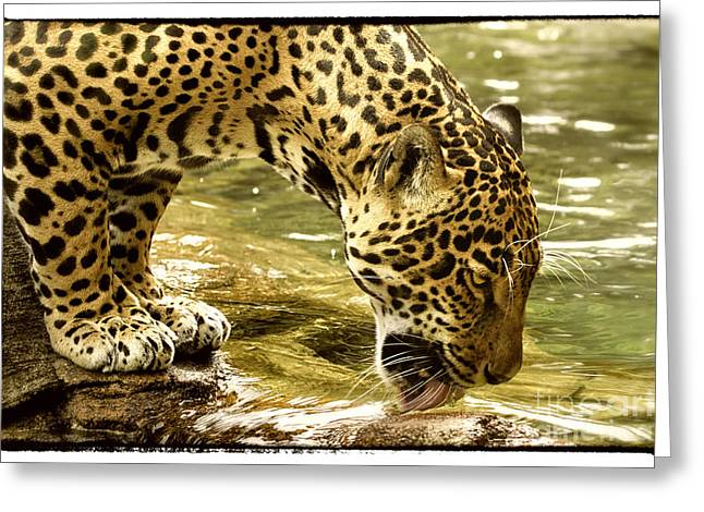 Jaguars Greeting Cards - Thirst Greeting Card by Sharon Ely
