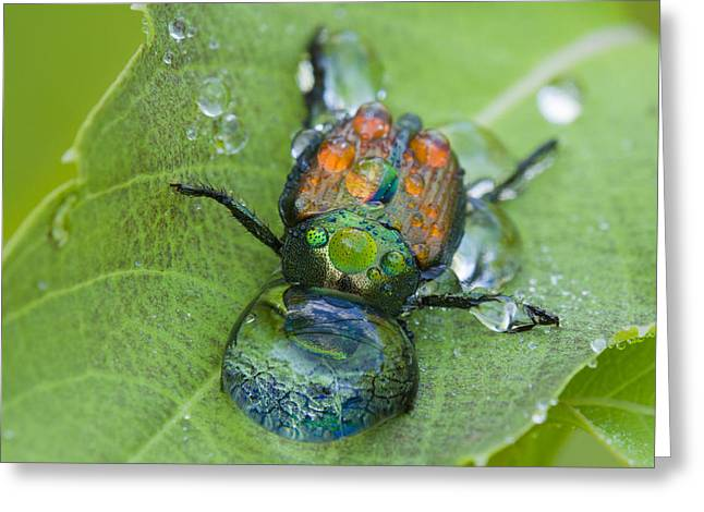 Netting Greeting Cards - Thirsty beetle Greeting Card by Mircea Costina Photography