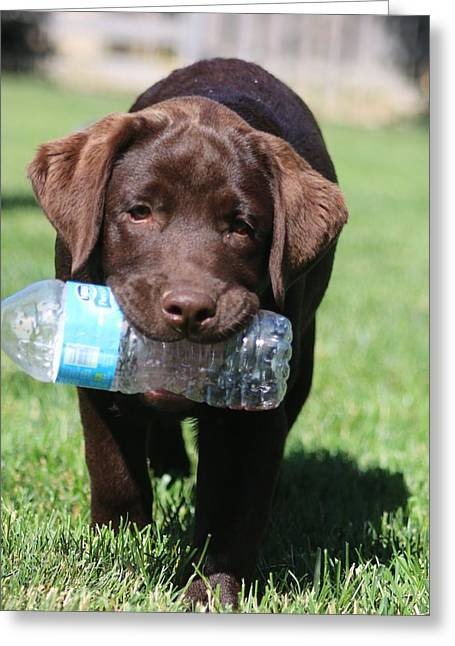 Chocolate Lab Greeting Cards - Thirsty Greeting Card by Betty Baker