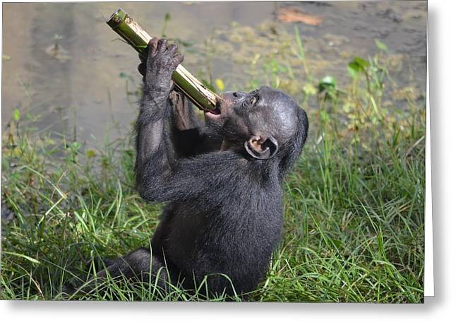 Jacksonville Greeting Cards - Thirsty bonobo Greeting Card by Richard Bryce and Family