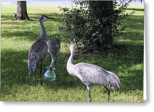 Sandhill Crane Greeting Cards - Thirsty cranes Greeting Card by Zina Stromberg