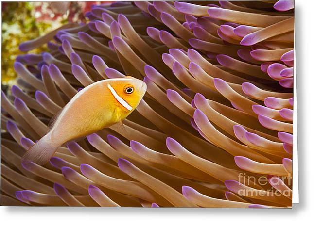 Yap Greeting Cards - This common anemonefish, Amphiprion perideraion, is most often found associated with the anemone, Heteractis magnifica, as pictured here_ Yap, Micronesia Greeting Card by Dave Fleetham