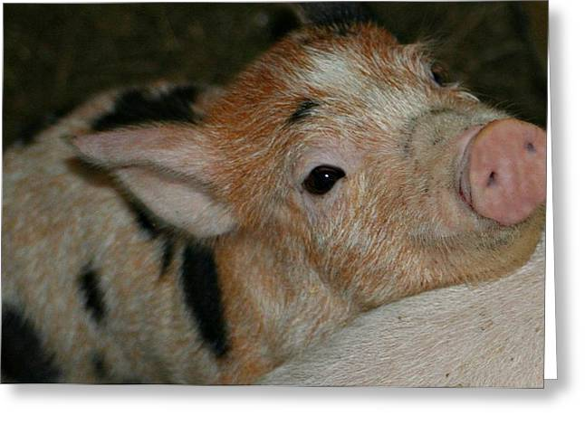 Piglets Greeting Cards - This Little Piggy Greeting Card by Barbara S Nickerson