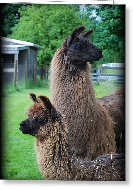 Llama Digital Greeting Cards - This Way or That Greeting Card by Kathy Sampson