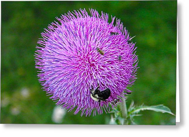 Thistle Ball Greeting Card by Nick Kirby