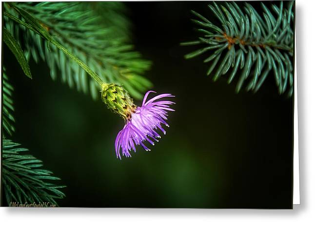 Wild Orchards Greeting Cards - Thistle in the pine Greeting Card by LeeAnn McLaneGoetz McLaneGoetzStudioLLCcom