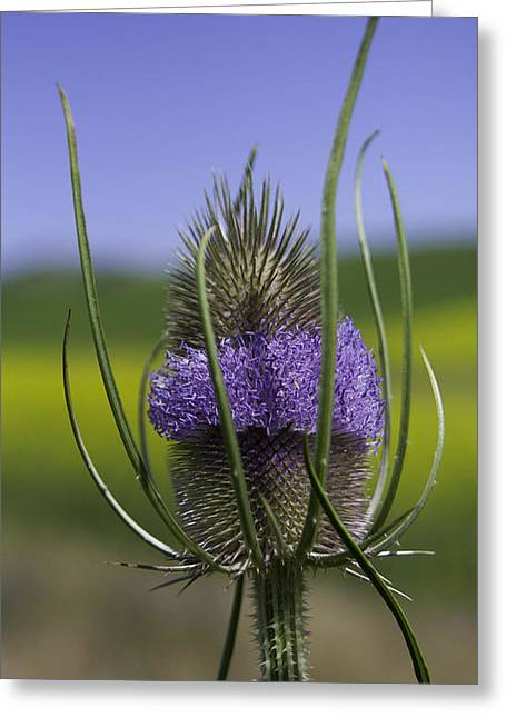 Blue Thistles Greeting Cards - Thistle Greeting Card by Latah Trail Foundation