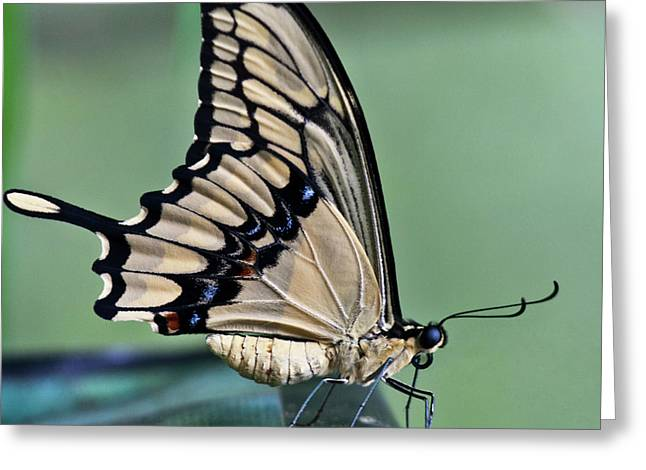 Papilio Thoas Greeting Cards - Thoas swallowtail Butterfly Greeting Card by Heiko Koehrer-Wagner