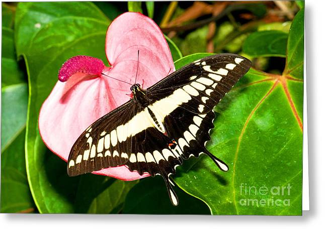 Papilio Thoas Greeting Cards - Thoas Swallowtail Butterfly Greeting Card by Millard H. Sharp
