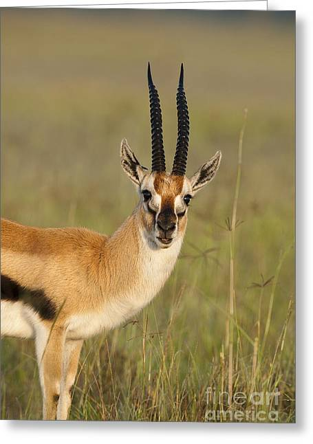 Tommie Greeting Cards - Thomsons Gazelle Greeting Card by John Shaw