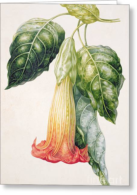 In Bloom Greeting Cards - Thorn Apple flower from Ecuador Datura rosei Greeting Card by Augusta Innes Withers