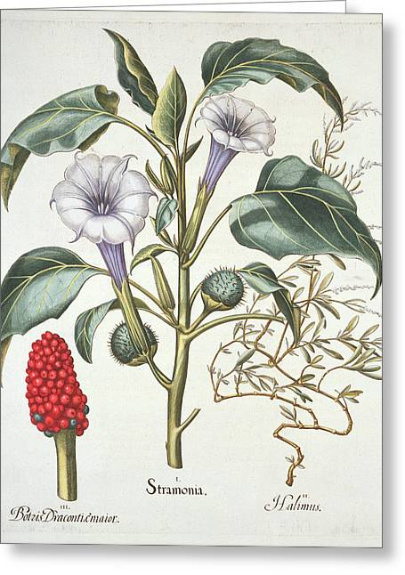 Horned Greeting Cards - Thorn Apple, From The Hortus Greeting Card by German School